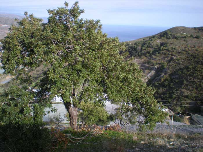Algarrobo Ceratonia Siliqua en Gualchos (Granada)