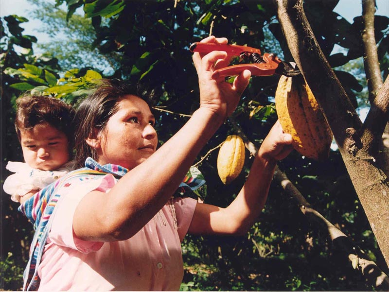 Mujer recogiendo cacao