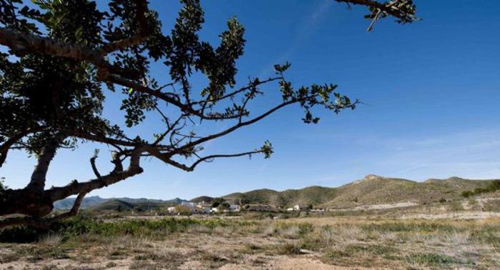 Algarrobo en los campos de Cartagena