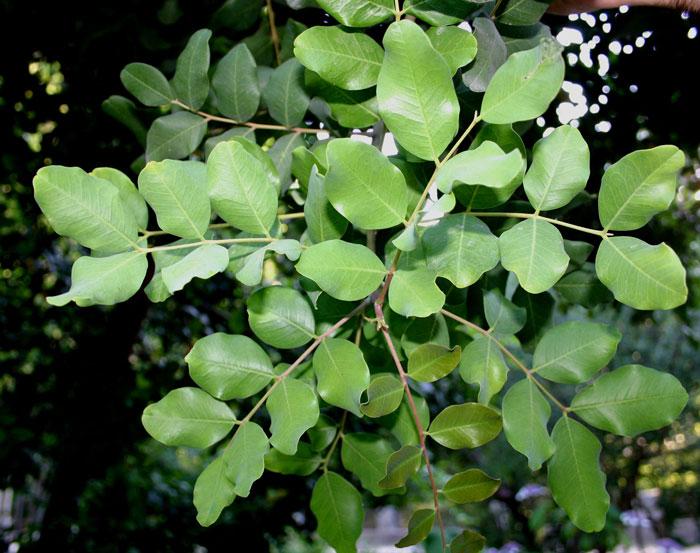Hojas de algarrobo Ceratonia Siliqua