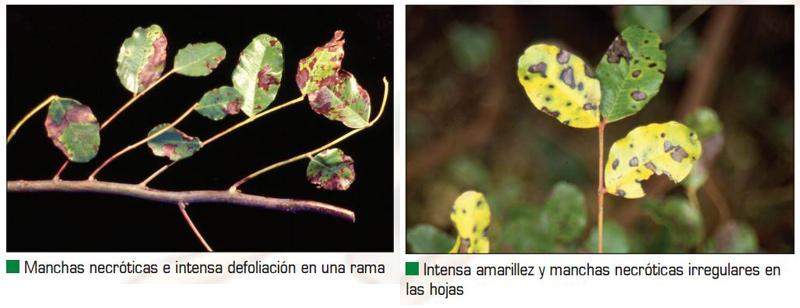 Hojas de Algarrobo afectadas por Cercosporiosis