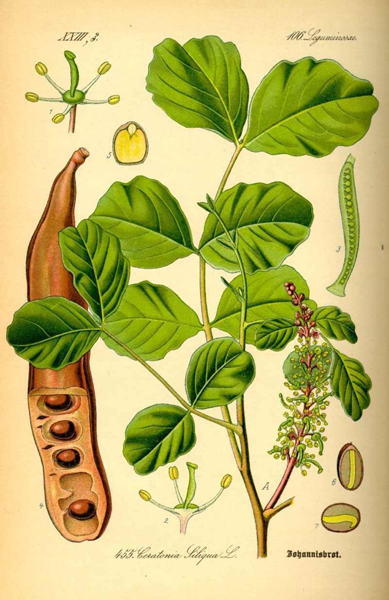 Algarroba Ceratonia Siliqua
