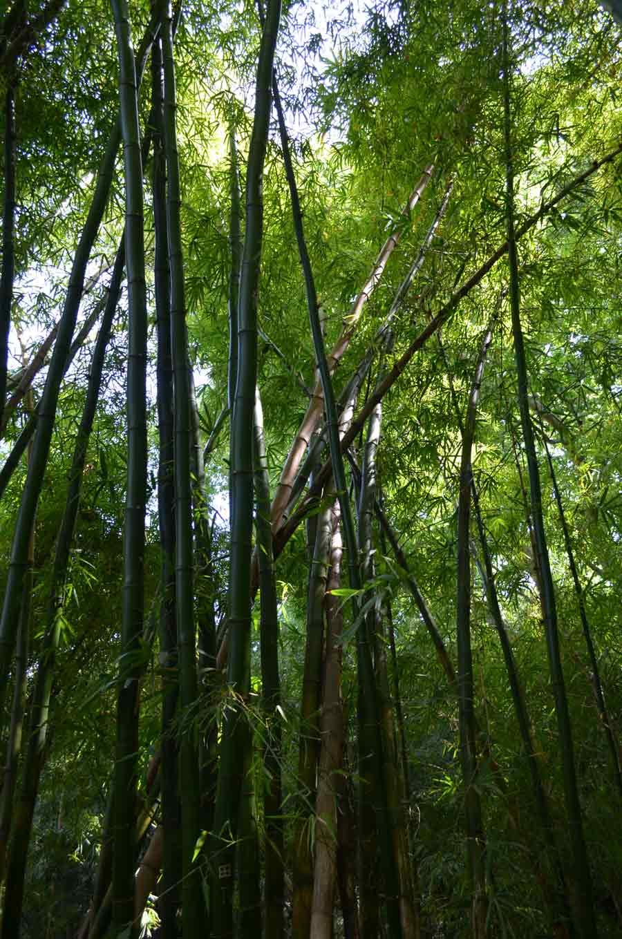 Jardín Botánico-Histórico de Málaga, Bosque de Bambú