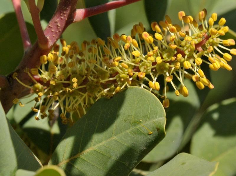 Flor Masculina de Algarrobo Ceratonia Siliqua
