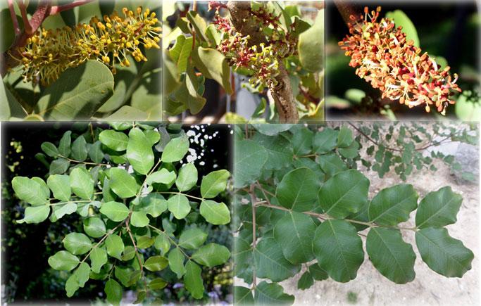 Flores y Hojas del Algarrobo