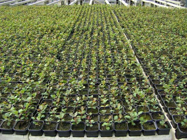 Plantaci n y cultivo el portal de la algarroba for Que es un vivero frutal